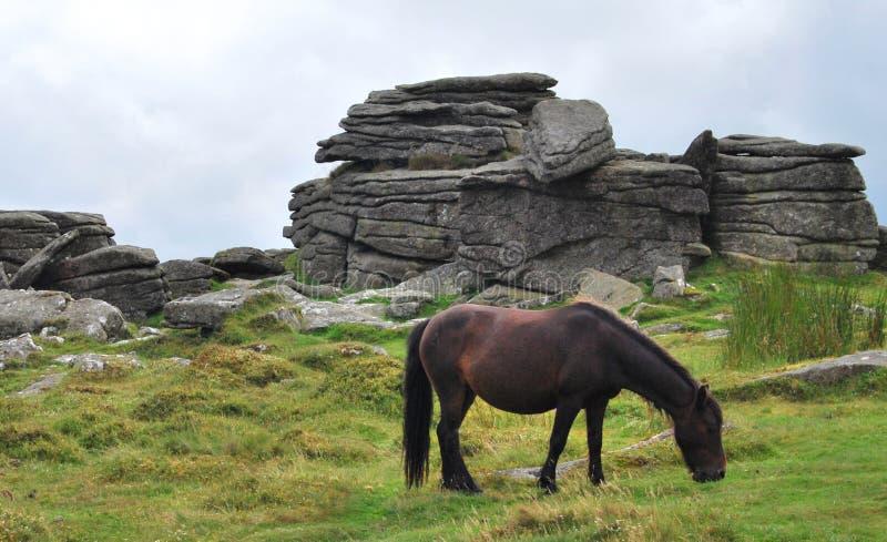 Ponny sauvage en parc national de Dartmoor image libre de droits