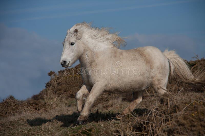 ponny wild welsh arkivbilder