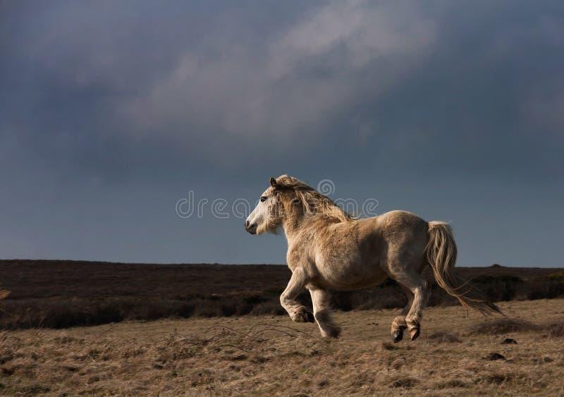 ponny wild welsh royaltyfri fotografi