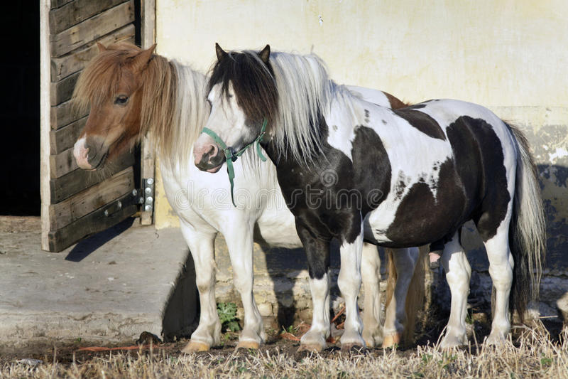 ponnyer två welsh arkivfoto