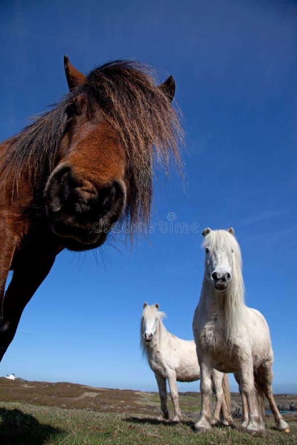 ponnyer wild welsh royaltyfria bilder