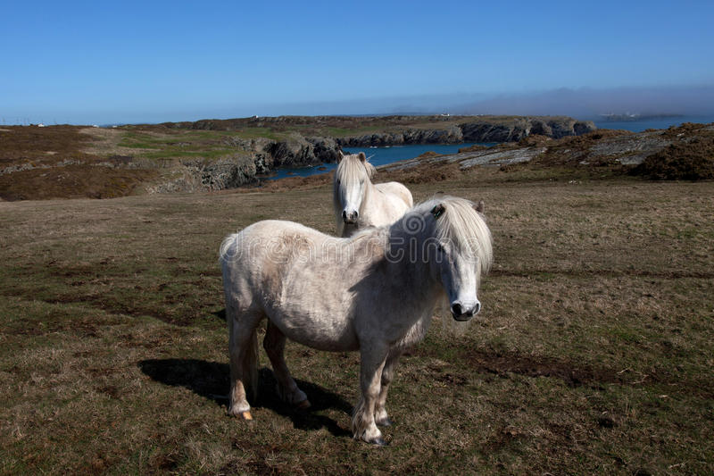 ponnyer wild welsh arkivbild