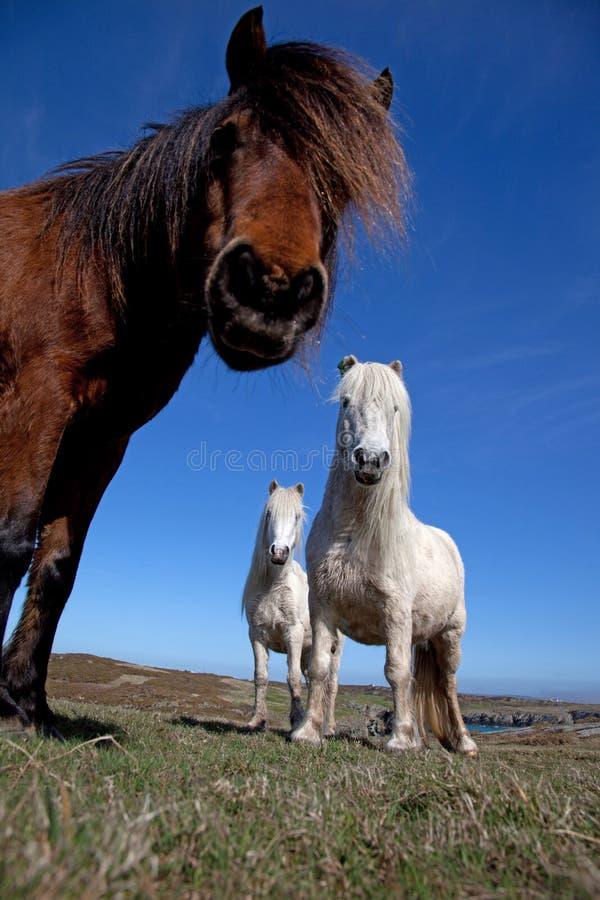 ponnyer wild welsh arkivfoton