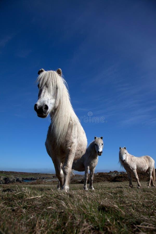 ponnyer wild welsh arkivbilder