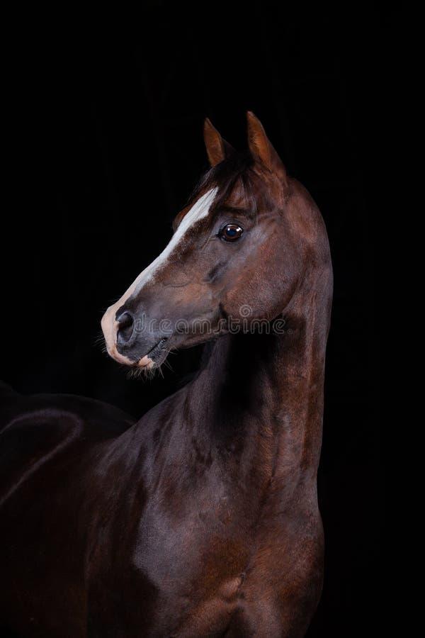 ponnyhingst welsh royaltyfri bild