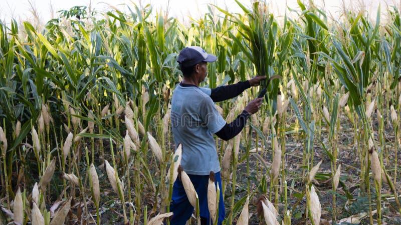 Ponorogo, Indonesia-16/10/2019: Un agricoltore sta raccogliendo mais con falce immagine stock