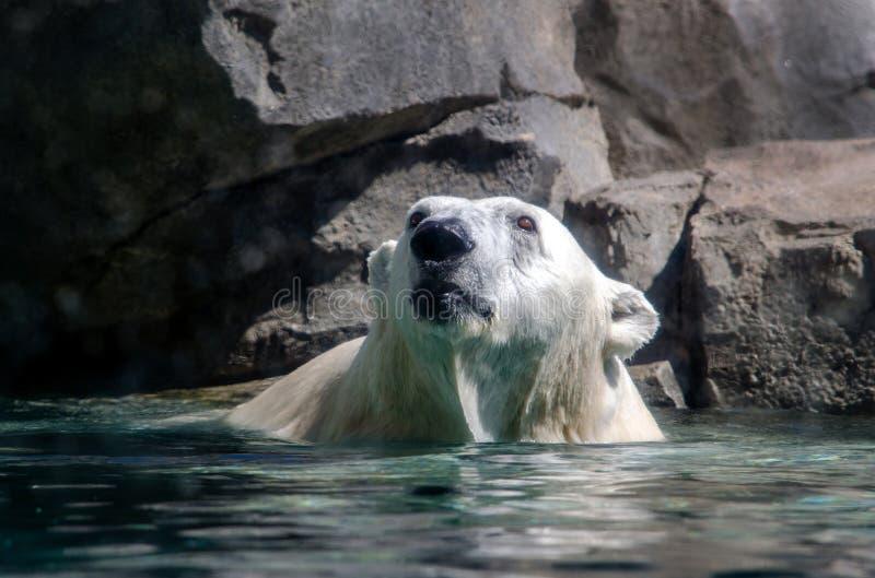 ponoszą polarna wody fotografia stock