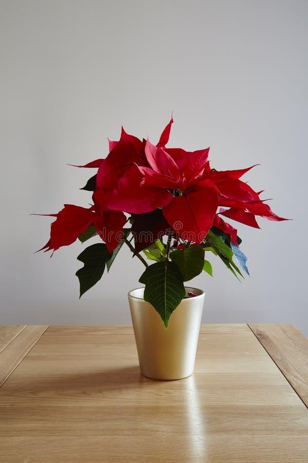 Download Ponsettia, stockbild. Bild von blüte, hintergrund, poinsettia - 106801619