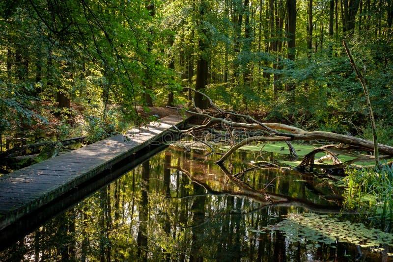 Pont en pont en bois au-dessus de lac de l'eau avec les roseaux et le Br mort d'arbre photo stock