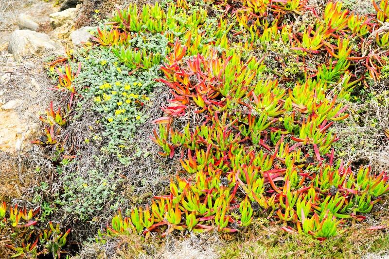Ponta de萨格里什侵略的植物 库存照片