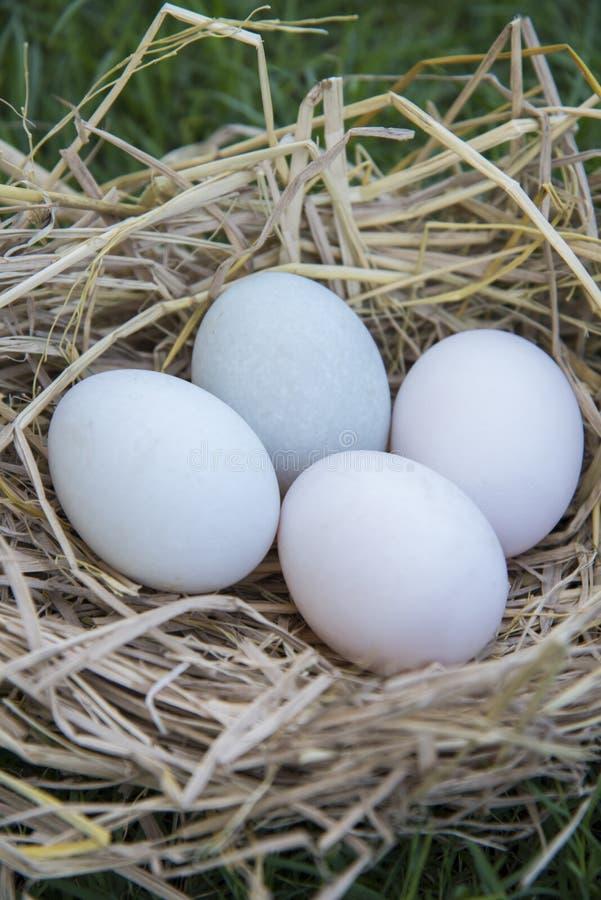 Ponte d'oeufs dans le nid d'oiseau photographie stock libre de droits