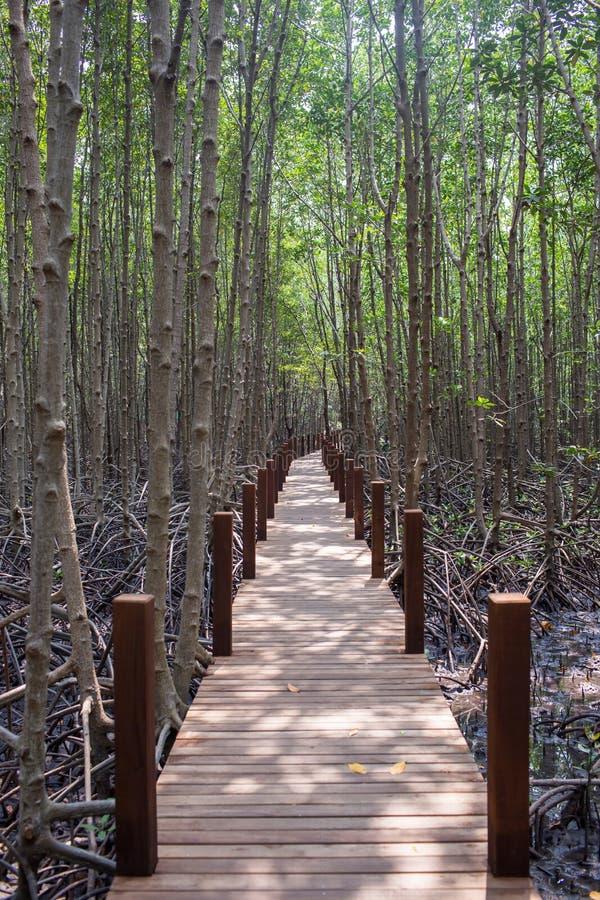 A ponte de madeira, passeio à beira mar, passagem de madeira para a fuga de natureza a floresta dos manguezais imagem de stock