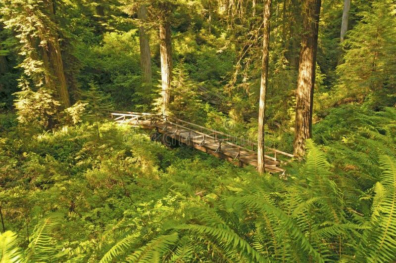 Ponte escondida nas sequoias vermelhas imagens de stock