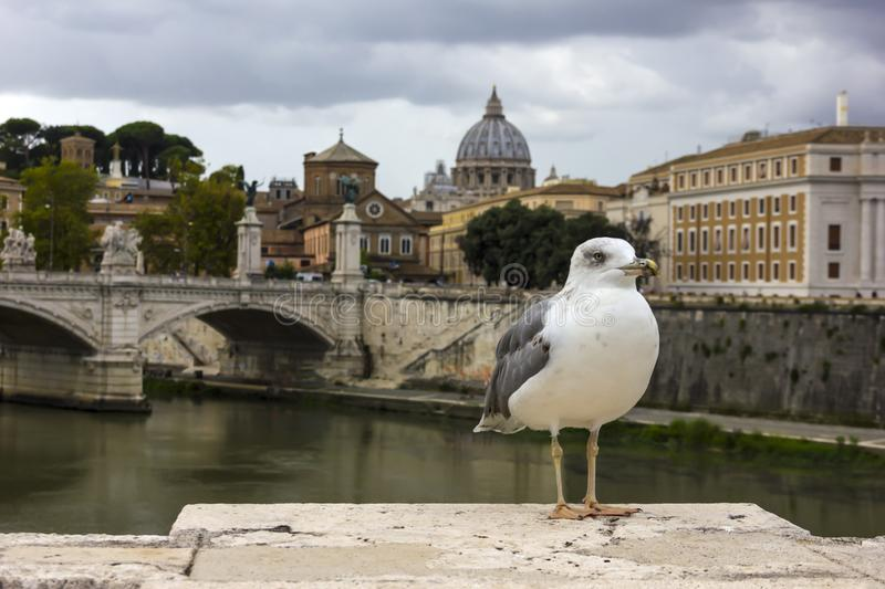 A seagull in front of Ponte Vittorio Emanuele II in Rome royalty free stock photos