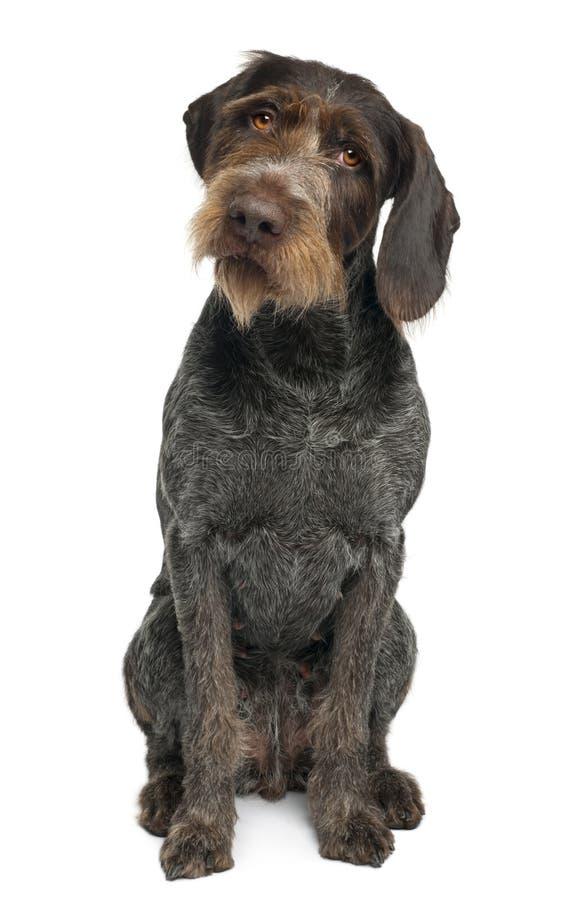 Ponteiro de cabelos curtos alemão, 6 anos velho imagem de stock royalty free