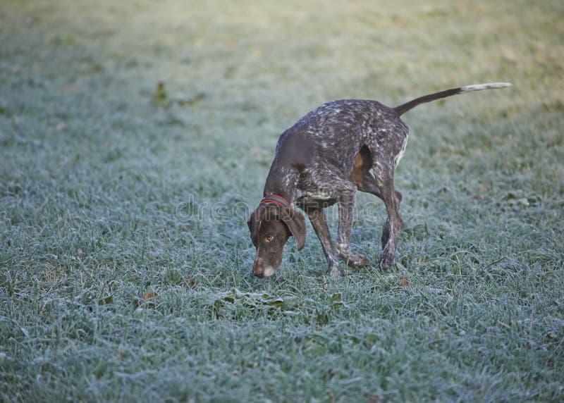 Ponteiro de cabelos curtos alemão - cão do caçador imagens de stock royalty free