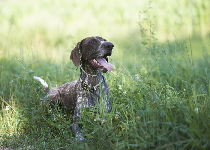 Ponteiro de cabelos curtos alemão - cão do caçador fotografia de stock royalty free