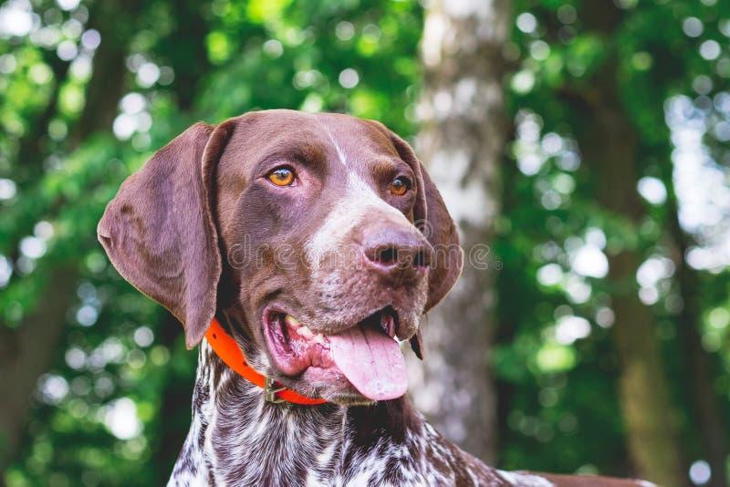 Ponteiro de cabelos curtos alemão com um olhar bonito, retrato da raça do cão de um close-up_ do cão foto de stock