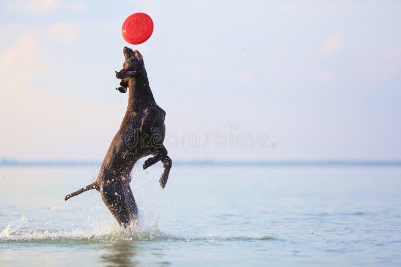 Ponteiro de cabelos curtos alemão do cão marrom feliz, brincalhão Saltar na fatura da água espirra e acena Reflexão da silhueta fotos de stock