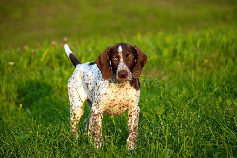 Ponteiro de cabelos curtos alemão, um cachorrinho manchado marrom kurtshaar alemão imagens de stock royalty free