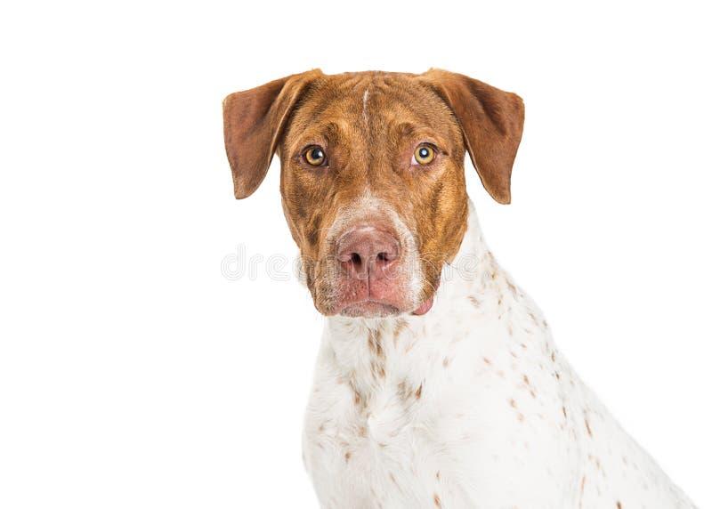 Ponteiro e Pit Bull Crossbreed Dog Closeup fotografia de stock