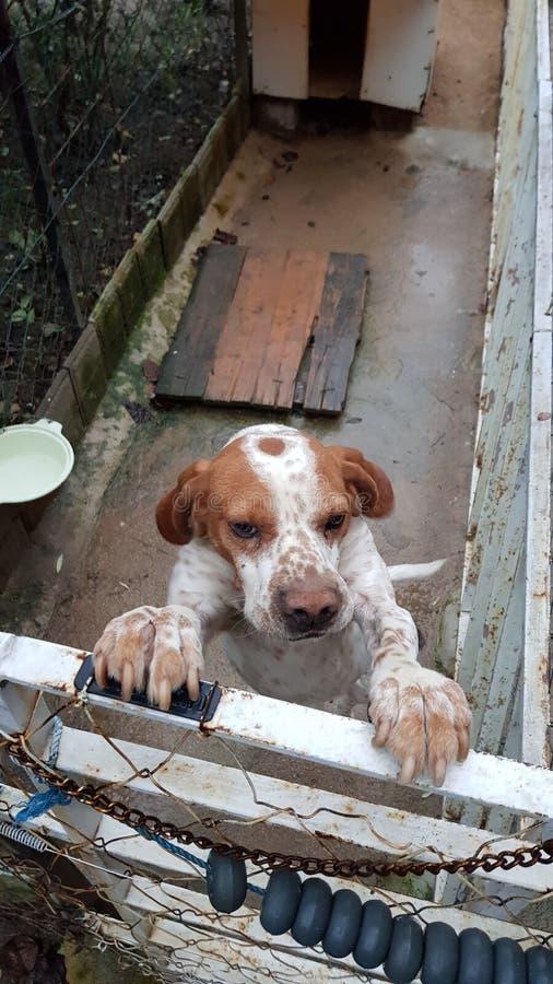Ponteiro inglês - cão do lebreiro fotografia de stock royalty free