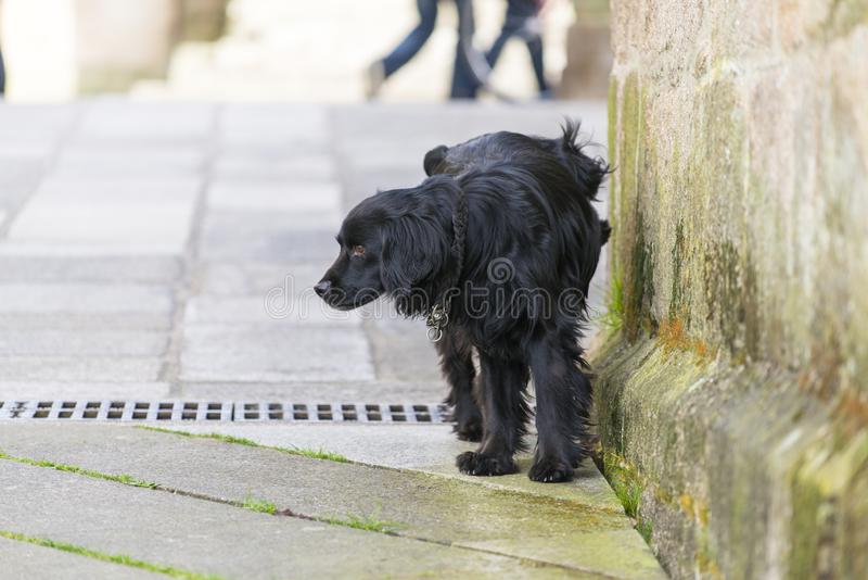 A black dog urinating on a wall royalty free stock image