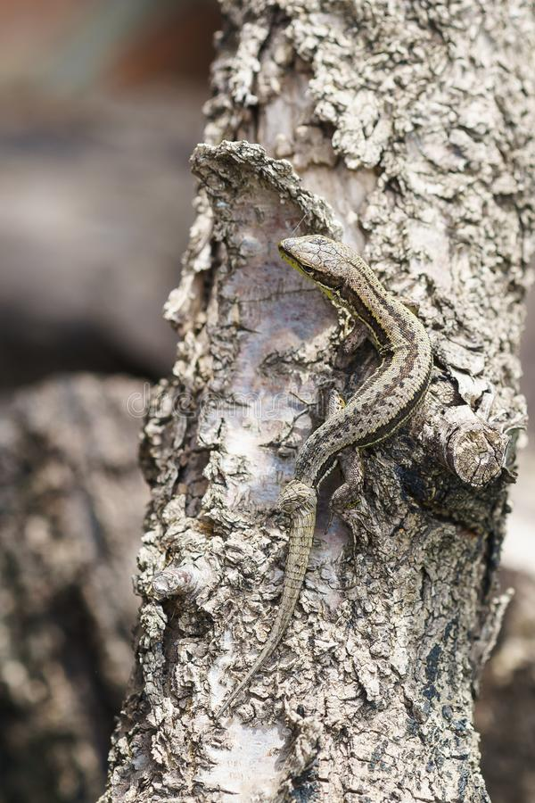Pontic lizard darevskaya pontica genus Rock lizards with a defect in the form of a growth on the tail stock image