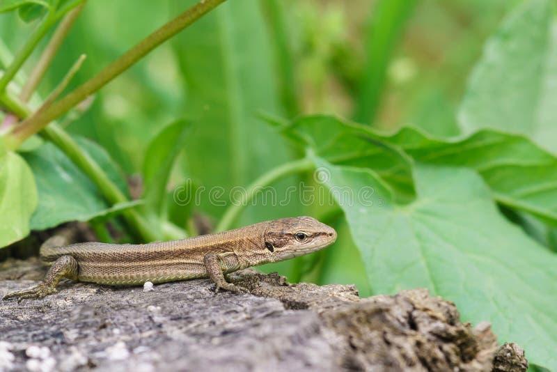 Pontic lizard Darevskia pontica Rock lizard sitting on a rock royalty free stock photography