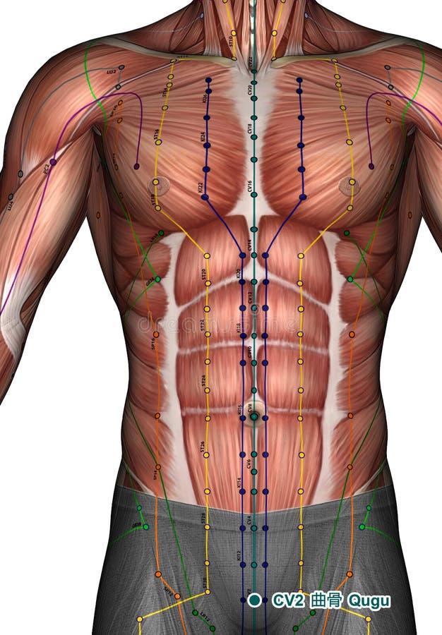 Ponto CV2 Qugu da acupuntura, ilustração 3D ilustração do vetor
