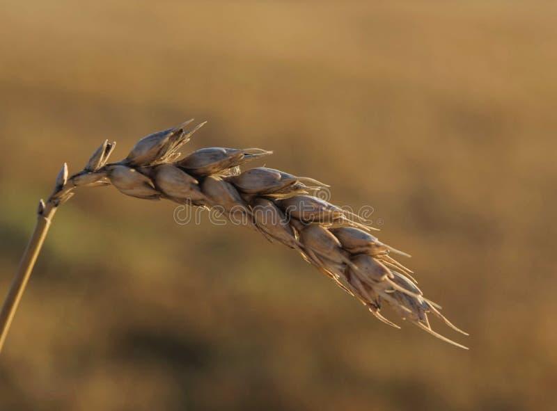 Ponto do trigo imagens de stock