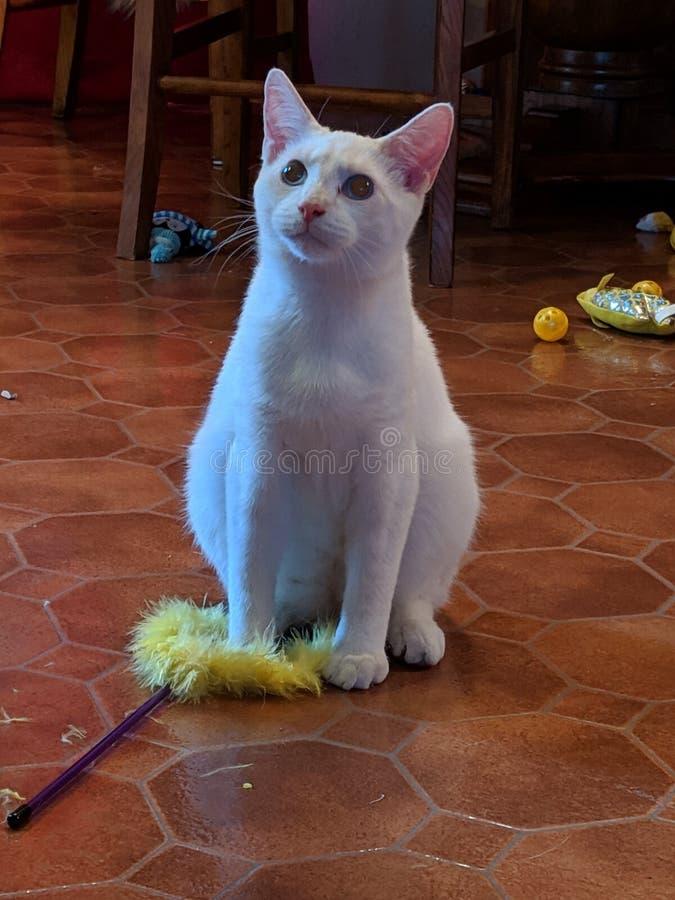 Ponto vermelho Kitty Meow branca Siamese fotografia de stock