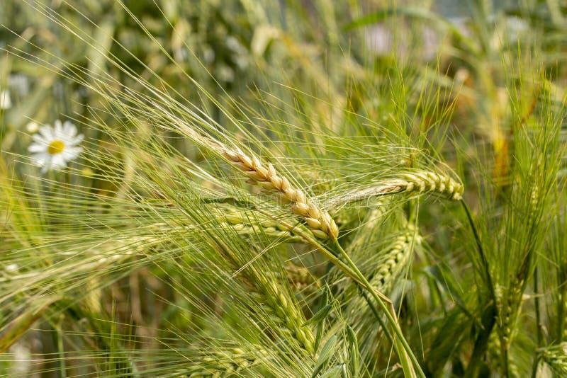 Pontos de Rye amadurecidos com espinhas longas Trigo do centeio do cereal do bluegrass do cereale do Secale das sementes Ponto ma imagens de stock