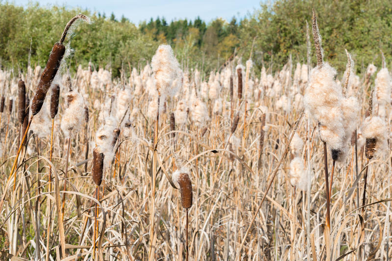 Pontos do Cattail com fluff -5 foto de stock royalty free