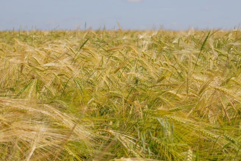 Pontos do centeio de amadurecimento em um campo agrícola imagem de stock royalty free
