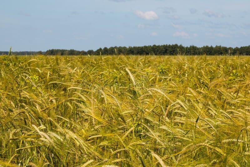 Pontos do centeio de amadurecimento em um campo agrícola foto de stock