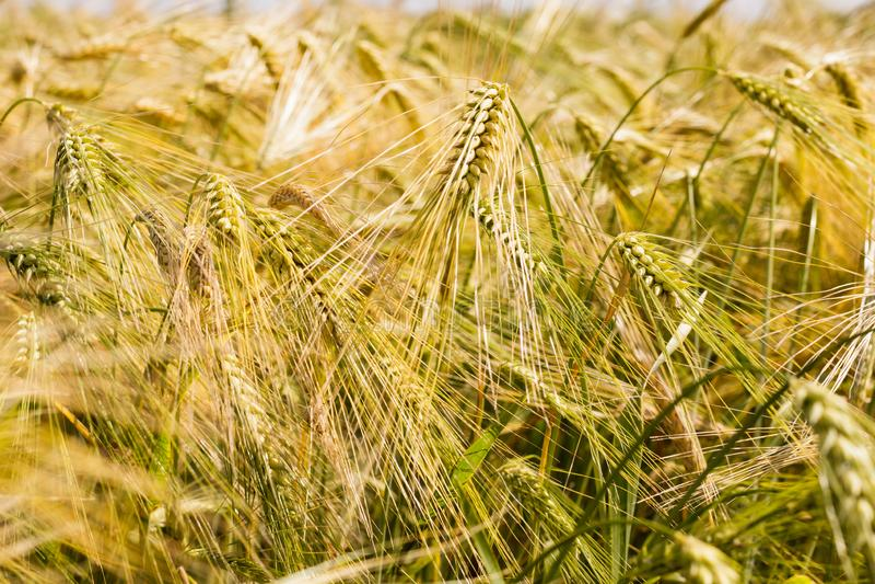 Pontos do centeio de amadurecimento em um campo agrícola fotos de stock royalty free