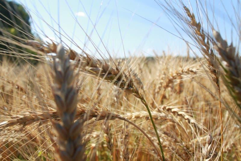 Pontos do trigo imagens de stock