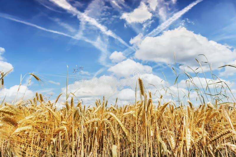 Pontos do trigo maduro contra o céu azul Conceito do foco da colheita foto de stock royalty free