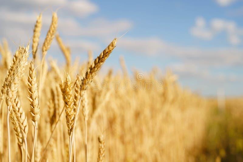 Pontos dourados do trigo retroiluminados com luz solar natural Macro com dof raso imagens de stock