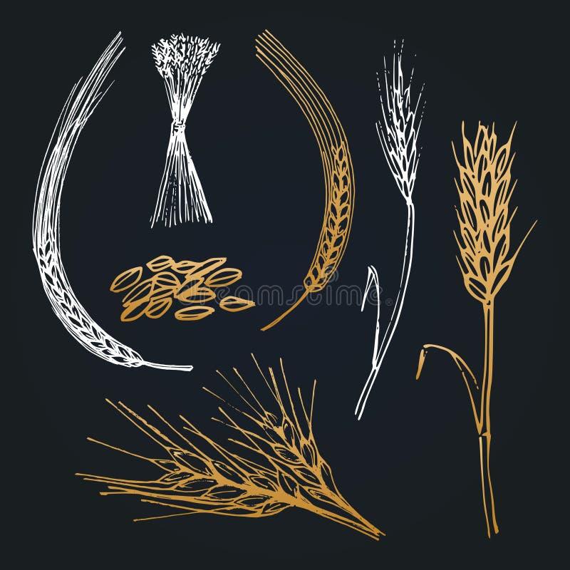 Pontos e orelhas do trigo, cevada, centeio, coleção tirada mão Vector ilustrações para o ícone da cervejaria, logotype da explora ilustração royalty free