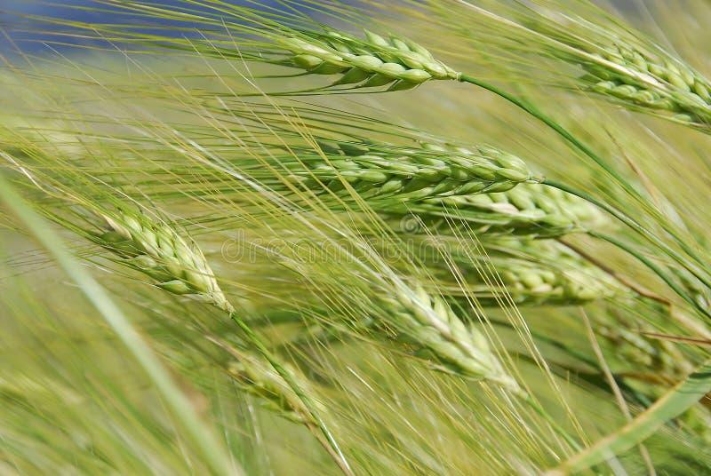 Download Pontos no vento. foto de stock. Imagem de verde, grão - 12804540