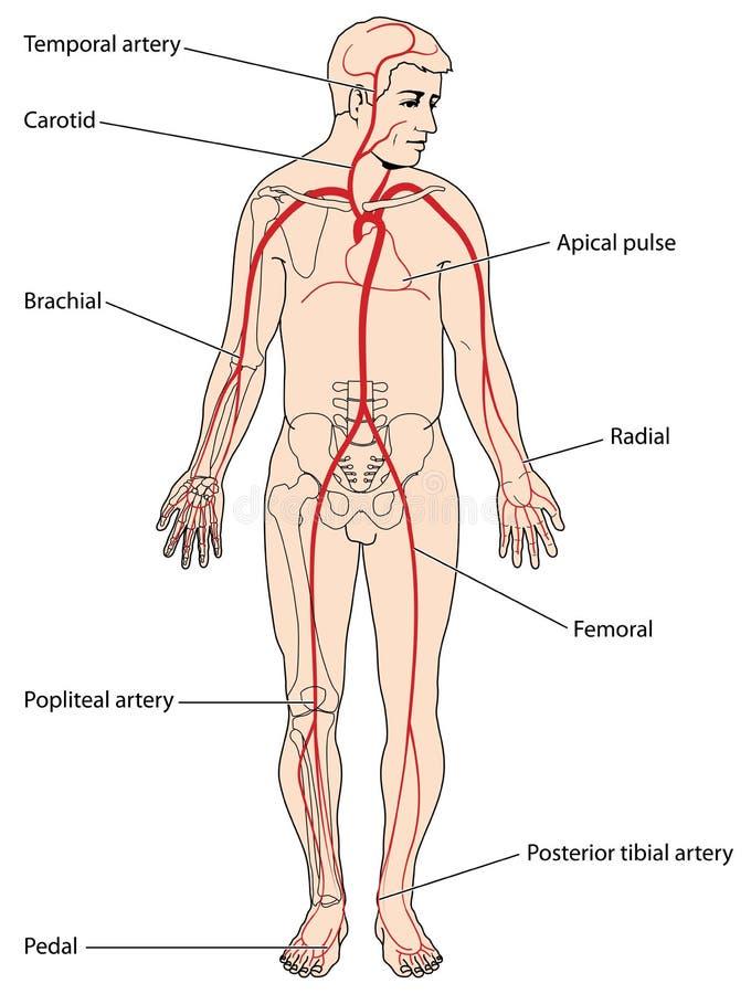 Pontos principais do pulso ilustração stock