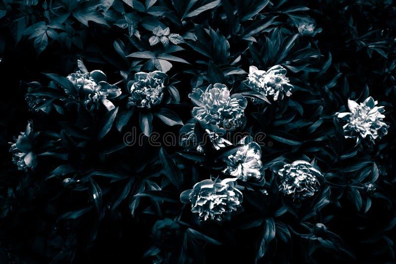 Ponura peonia w czarny i biały zdjęcie stock