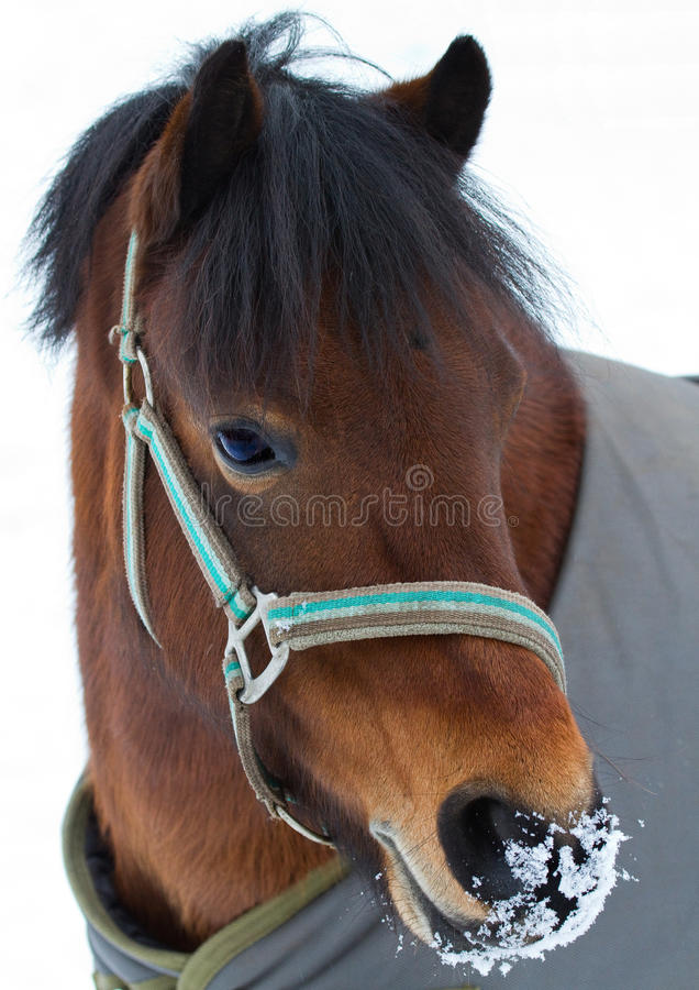Pony royalty free stock images