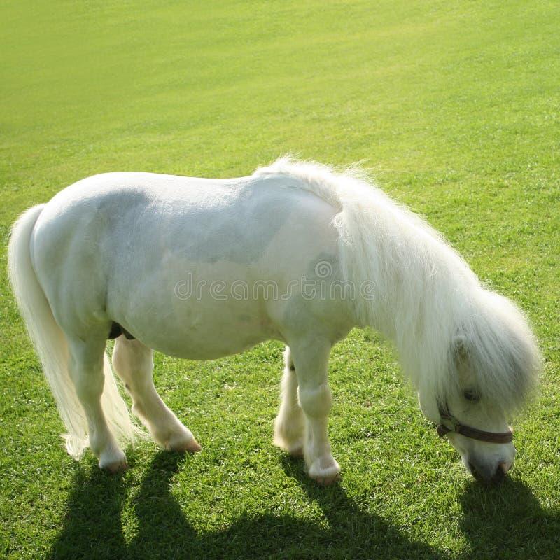 Free Pony Stock Photography - 16903782