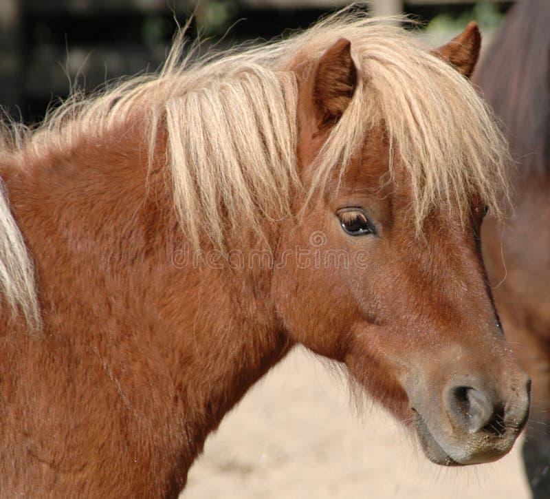 Free Pony Royalty Free Stock Image - 1868956