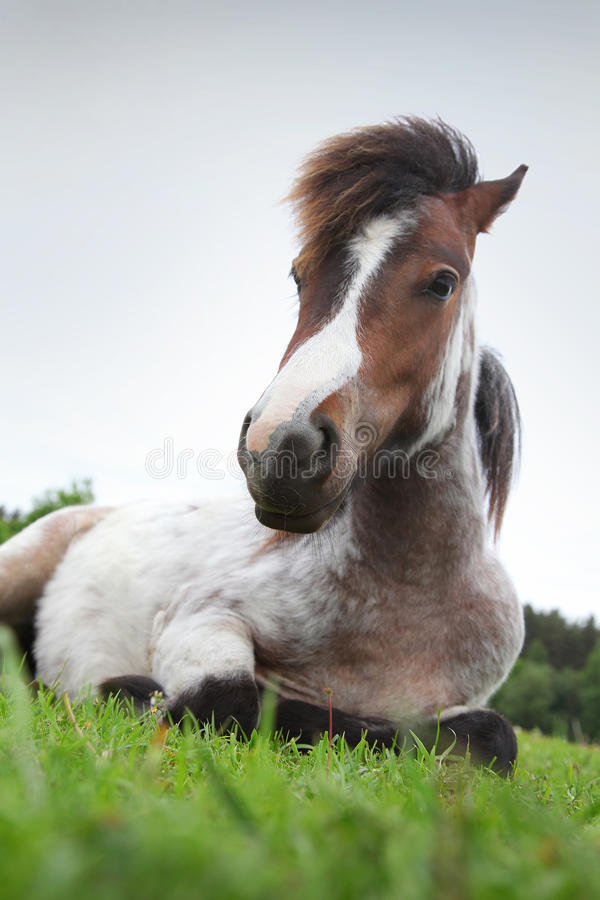 Free Pony Royalty Free Stock Photos - 31265538