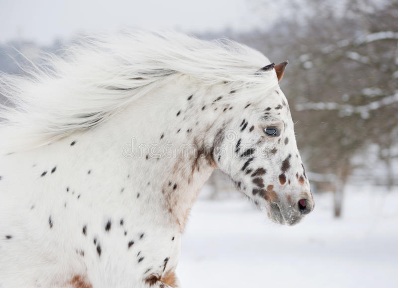 Pony appaloosa portrait royalty free stock photos