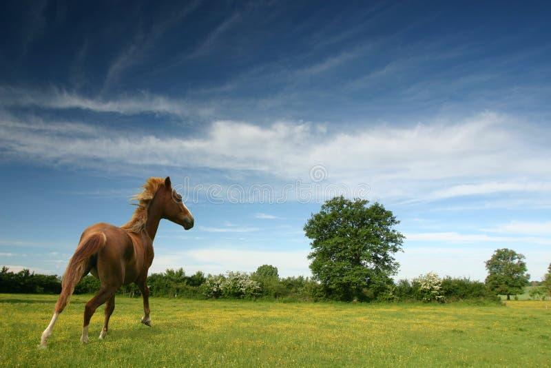 Pony auf einem grünen Gebiet stockbilder